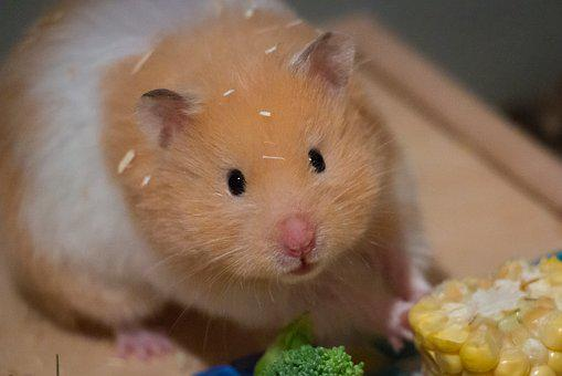 Cute, Small, Corn, Goldhamster, Medium-hamster, Eat