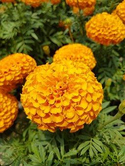 Flora, Nature, Garden, Flower, Leaf, Marigold, Green