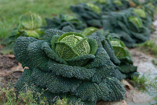 Nature, Food, Plant, Leaf, Outdoor, Cabbage, Fields