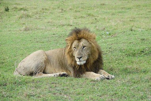 Mammal, Wildlife, Animal, Grass, Nature, Lion, Kenya