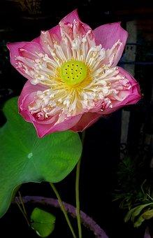 Lotus, Flower, Large, Open, Pink, Flora, Nature, Leaf
