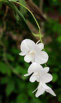 Orchid, Pure, White, Nature, Flower, Flora, Leaf