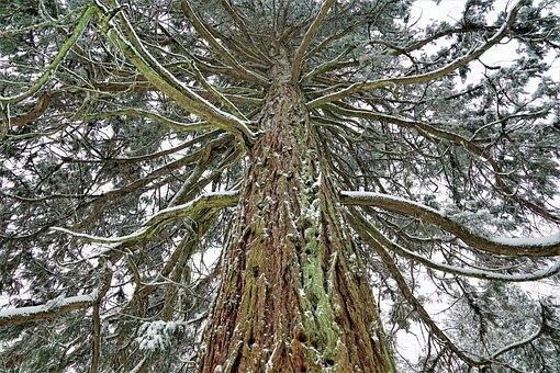 Tree, Wood, Nature, Pine, Branch, Season, Winter