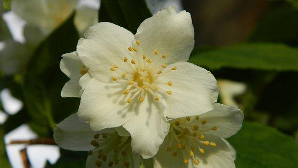 Jasmine, Bush, Flowering Shrub, Ornamental Shrubs