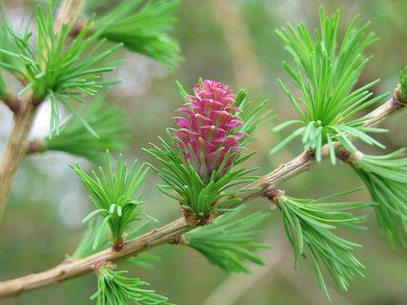 Larch, Nature, Tree, Blossom, Bloom, Plant, Leaf