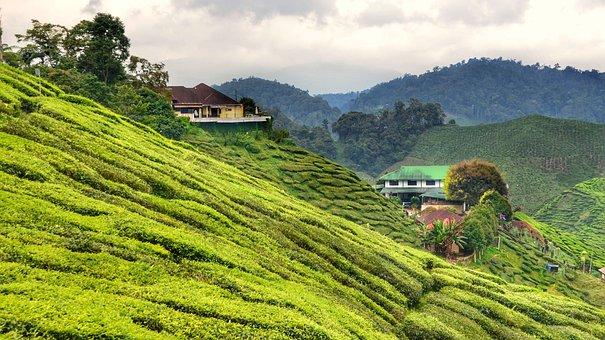 Tea, Plantation, Cameron, Highlands, Malaysia, Plants