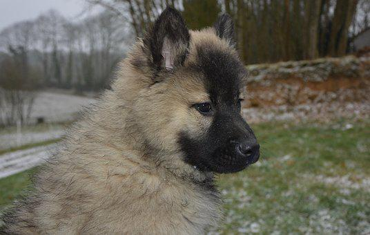 Dog, Puppy, Pup, Eurasier, Bitch Christmas, Canine