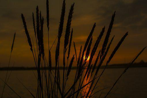 Nature, Reed, Dawn, Dry, Landscape, Sunset, Plant, Sun
