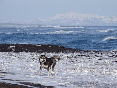 The Pacific Ocean, Dog, Husky, Sea, Bay, Beach, Coast