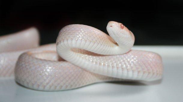 Reptile, Nature, Snake, Corn Snake, Opal, Snow, Motley