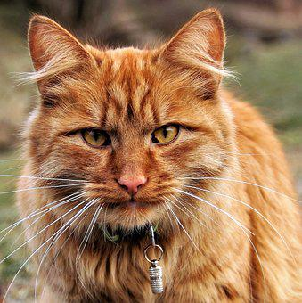 Cat, Tomcat, Redheaded, Portrait, View, Yellow Eyes