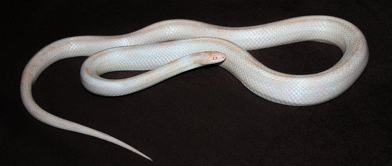 Opal, Corn Snake, Snake, Natter, White, Albino