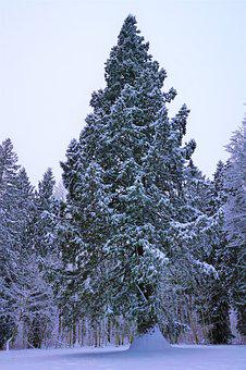 Winter, Snow, Tree, Frost, Wood, Season, Fir, Pine