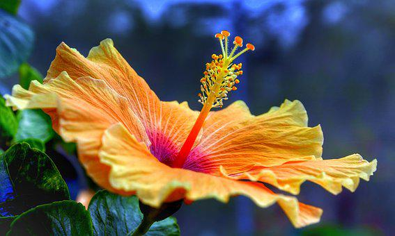 Hibiscus, Full, Bloom, Orange, Yellow, Nature, Flower