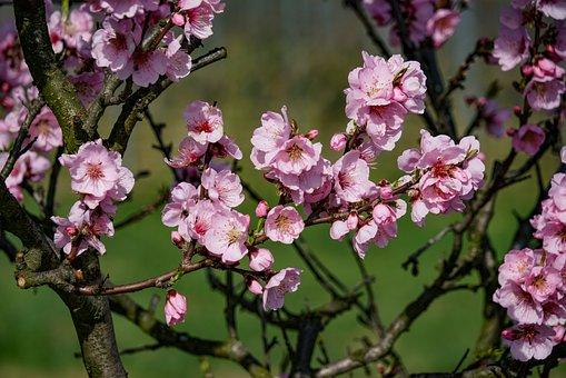 Almond Blossom, Almond Blossom Festival, Gimmel Things