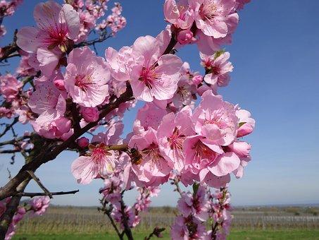 Almond Blossom, Spring, Almond Blossom Festival