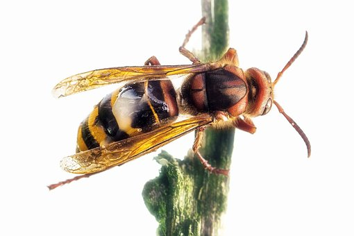 Hornet, Queen, Insect, Macro, Wasp, Close, Animal