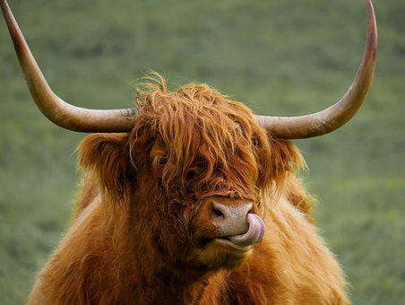 Animal, Highland Beef, Beef, Scotland, Cow, Ox, Meadow