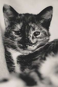 Cat, Lucky Cat, Domestic Cat, Kitten, Animal, Pet