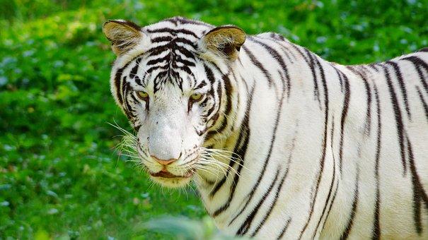 Wildlife, Animal, Nature, Cat, Mammal, Carnivore, Big