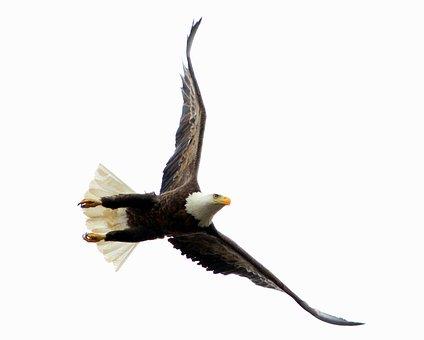 Bird, Raptor, Wildlife, Eagle, Flight, Freedom, Nature