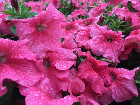 Pink, Beautiful, Flowers, Rainy, Nature, Blossom, Plant
