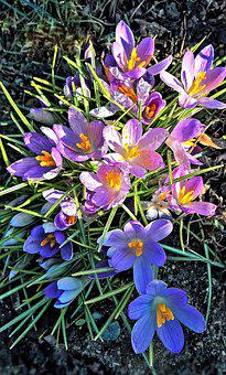 Crocus, Spring Flowers, Garden, Pink Purple Flowers