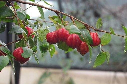 Fruit, Nature, Surinam Cherry, Food, Garden, Tree, Red