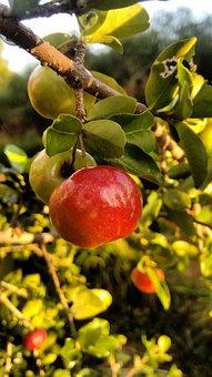 Acerola, Fruit, Nature, Leaf, Tree, Food, Garden, Color