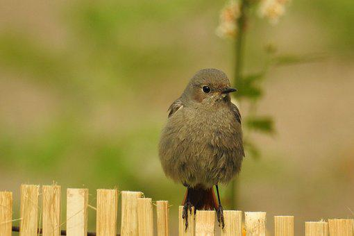 Rotschwaenzchen, Garden Redstarts, Animal World, Nature
