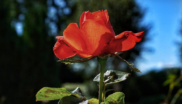 Red, Rose, Bloom, Flower, Nature, Flora, Leaf, English