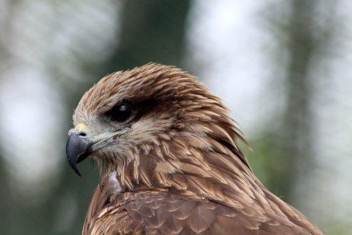 Black Kite, Milvus Migrans, Bird, Hawk, Living Nature
