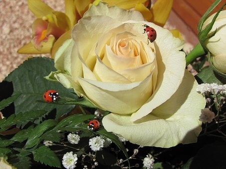 White Rose With Ladybug, Flower, Lucky Charm, Love