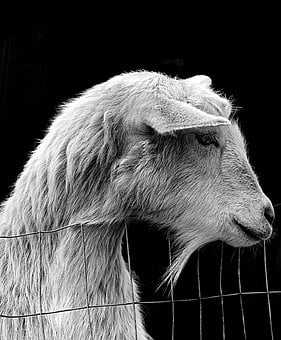 Animal, Nature, Mammal, Portrait, Fur, Goat, Livestock