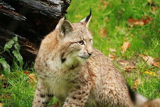 Animal World, Nature, Mammal, Animal, Carnivores, Cat