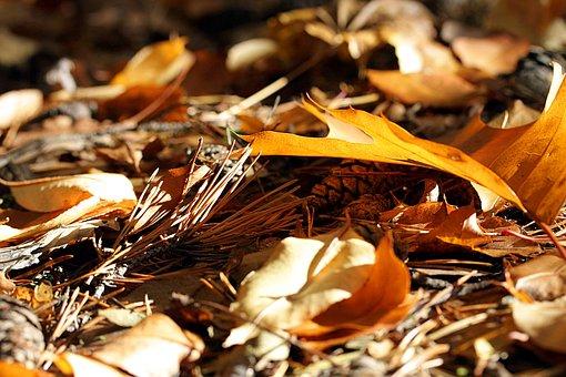 Nature, Autumn, Pine Needles, Needles, Forest