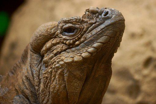 Reptile, Wildlife, Nature, Animal, Lizard, Chameleon
