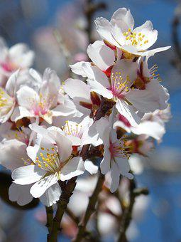 Almond Tree In Blossom, Flower, Branch, Cherry, Nature