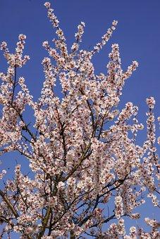 Cherry Blossom, Tree, Spring, Nature
