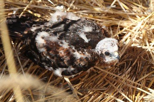 Bird, Raptor, Nest Baby Nozzle, Cornfield