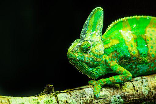 Lizards, Reptiles, Animal Life, Animals, Chameleons