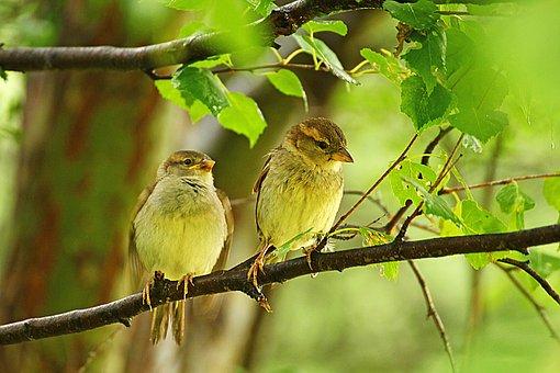 Sparrow, Sparrows, Nature, Birds, Spring, Branch, Tree