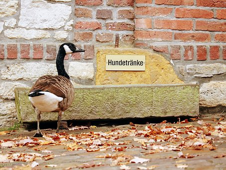 Nature, Bird, Brick, Animal, Duck, Thirst, Thirsty