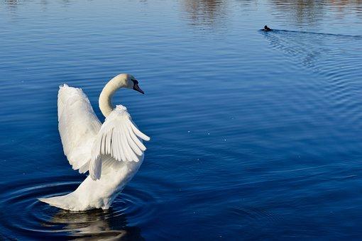 Water, Lake, Nature, Swan, Bird, Outdoors, Pool