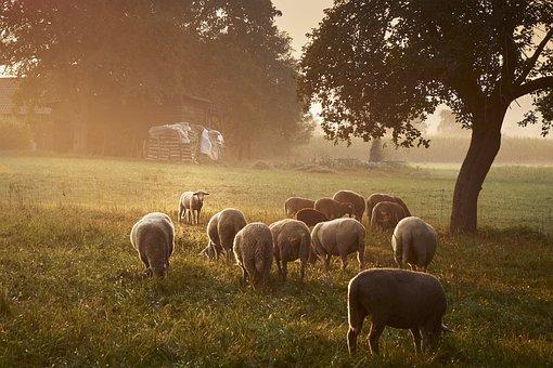 Sheep, Grass, Agriculture, Mammal, Meadow, Field