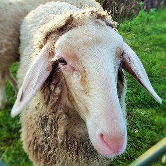 Farm, Sheep, Mammal, Animal, Animals, Wool, Nature