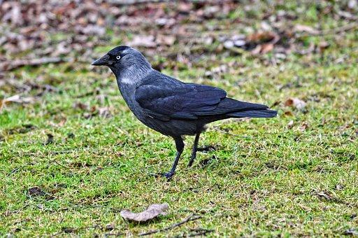 Jackdaw, Bird, Corvus Animal, Fauna, Coloeus Monedula