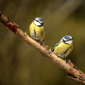 Animal World, Bird, Nature, Songbird, Blue Tit, Garden