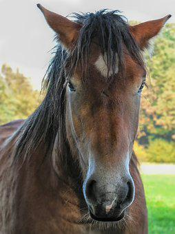 Head, Mane, Animal, Horse, Nature, Brown, Black