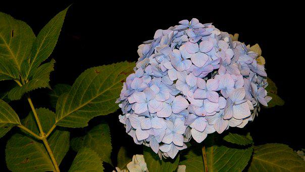 Hydrangea, Blue, Bushes, Autumn Flowers, Inflorescence